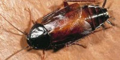 Дезинсекция срещу хлебарки