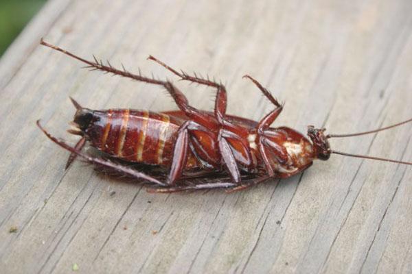 Как да изтребим хлебарките завинаги?